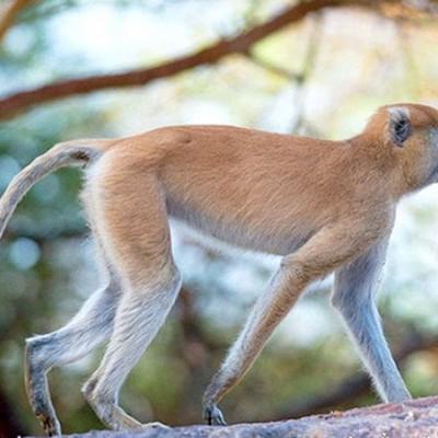 Патас, красная обезьяна