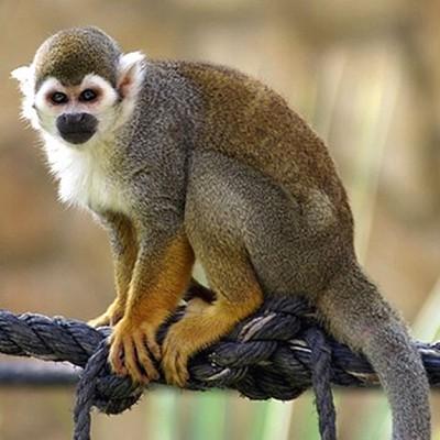 Саймири или беличья обезьяна